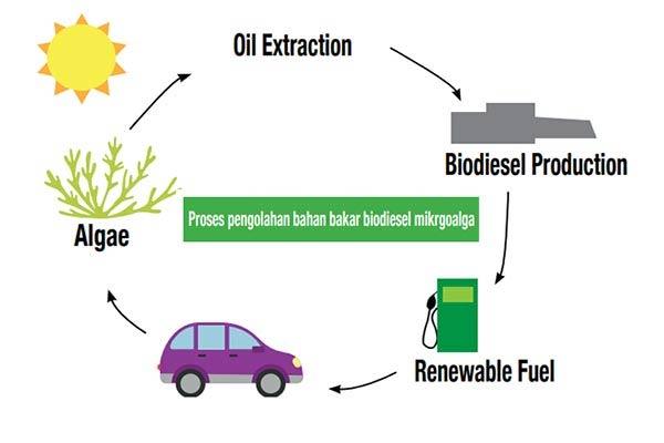 Rumput Laut Sebagai Sumber Energi Alternatif