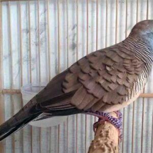 Merawat Burung Perkutut
